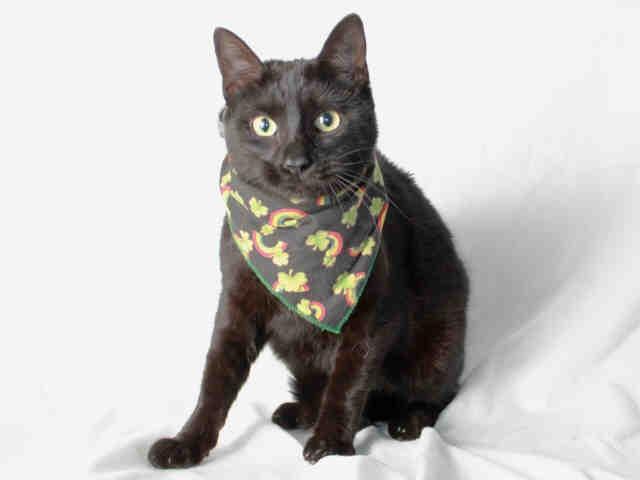 Meeshee cat