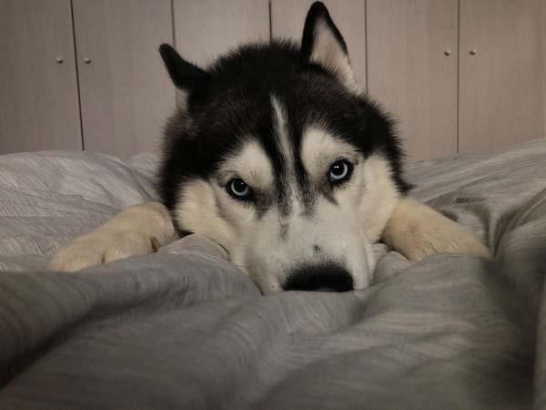 Koda Siberian Husky
